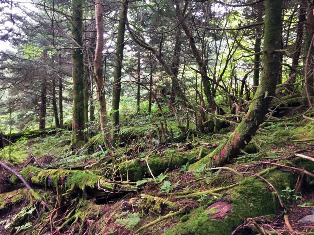 Regenerating forest on Clingmans Dome